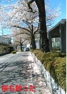 sakuramo004.jpg
